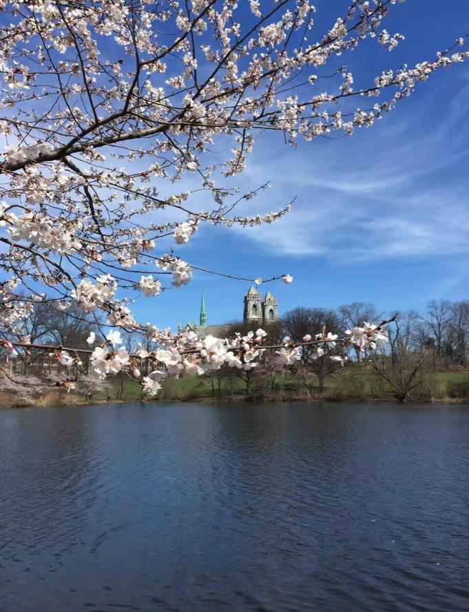《 春天足迹之樱花 》