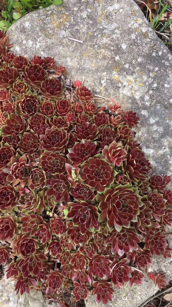 石 头 花