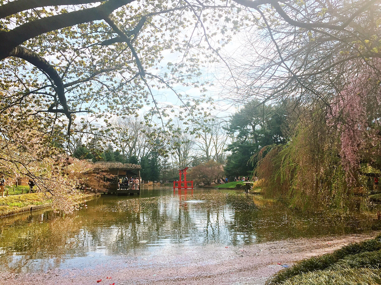 《湖光春色,落樱缤纷》